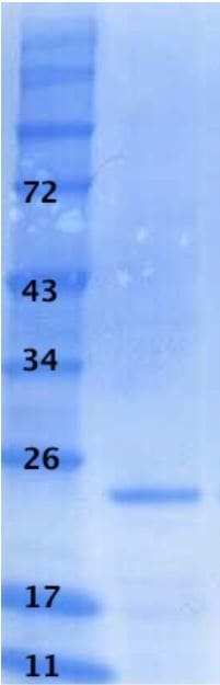 SDS-PAGE - Recombinant HIV1 p24 protein (ab43037)