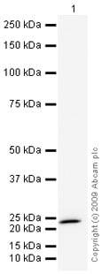 Western blot - Anti-CIB1/KIP antibody (ab43133)