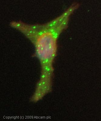 Immunocytochemistry/ Immunofluorescence - Anti-WWP1 antibody (ab43791)