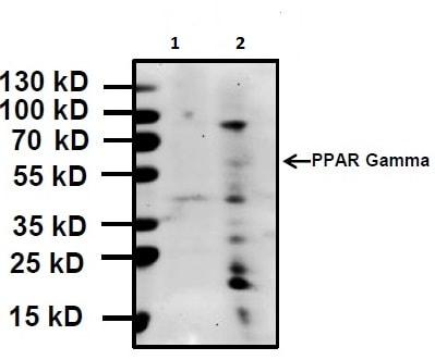 Western blot - Anti-PPAR gamma antibody - ChIP Grade (ab45036)