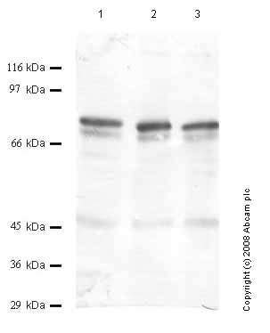 Western blot - Anti-ADAMTS12 antibody (ab45041)