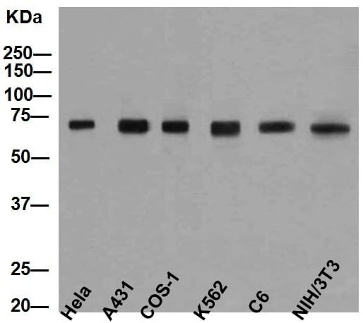 Western blot - Anti-Hsp70 antibody [EP1007Y] (ab45133)