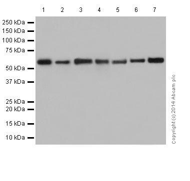 Western blot - Anti-Hsp60 antibody [EP1006Y] - Loading Control (ab45134)