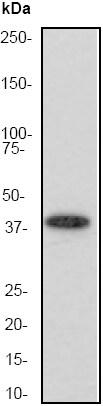Western blot - Anti-Aurora B antibody [EP1009Y] (ab45145)