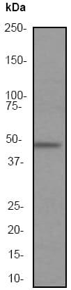 Western blot - Anti-MEK5 antibody [EP648Y] (ab45146)