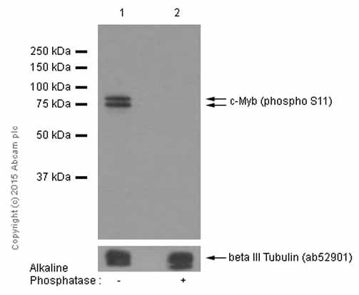 Western blot - Anti-c-Myb (phospho S11) antibody [EP769Y] (ab45150)