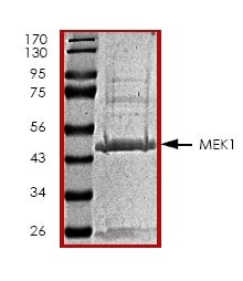 SDS-PAGE - Recombinant Human MEK1 protein (ab45156)