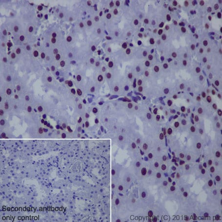 Immunohistochemistry (Formalin/PFA-fixed paraffin-embedded sections) - Anti-Histone H4 (acetyl K8) antibody [EP1002Y] - ChIP Grade (ab45166)