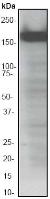 Western blot - Anti-ASK1 antibody [EP553Y] (ab45178)