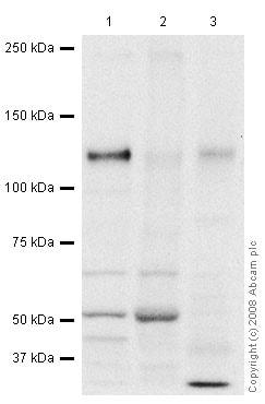 Western blot - Anti-Tomosyn antibody (ab45228)