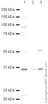 Western blot - Anti-PARL antibody (ab45231)
