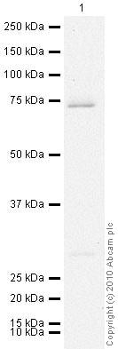 Western blot - Anti-PGE2 receptor EP4 subtype antibody (ab45295)
