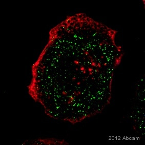 Immunocytochemistry/ Immunofluorescence - Anti-IL23 antibody (ab45420)