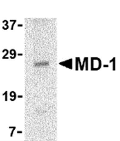 Western blot - Anti-MD1 antibody (ab45424)