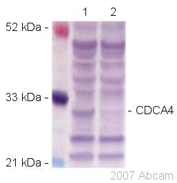 Western blot - Anti-CDCA4 antibody (ab45645)