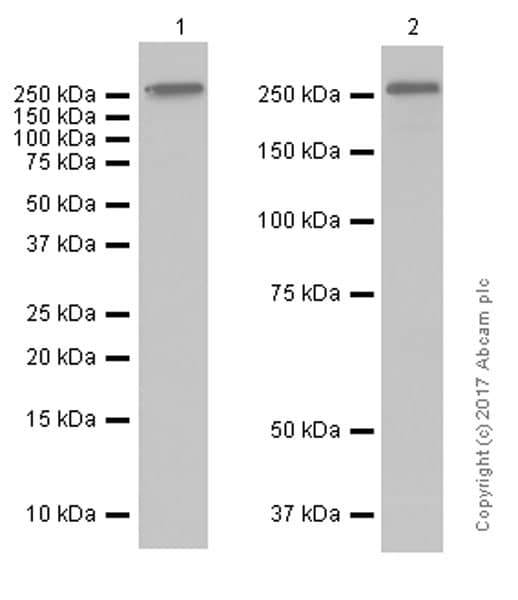 Western blot - Anti-Fibronectin antibody [F14] (ab45688)