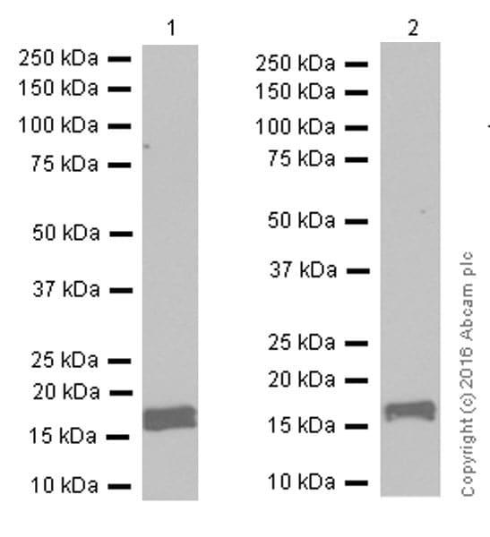Western blot - Anti-Calmodulin 1/2/3 antibody [EP799Y] - C-terminal (ab45689)