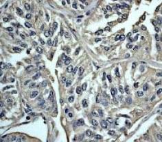Immunohistochemistry (Formalin/PFA-fixed paraffin-embedded sections) - Anti-Calmodulin 1/2/3 antibody [EP799Y] - C-terminal (ab45689)