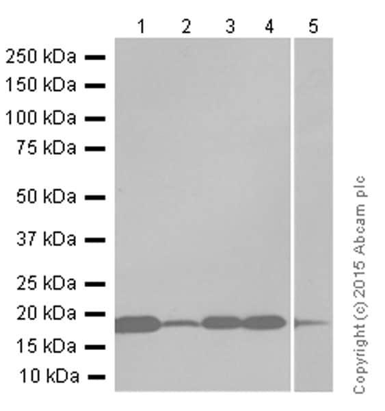 Western blot - Anti-CENPA antibody [EP800Y] - Centromere Marker (ab45694)