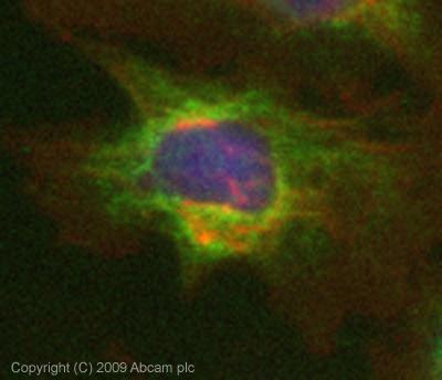 Immunocytochemistry - Anti-Rab25 antibody (ab45855)