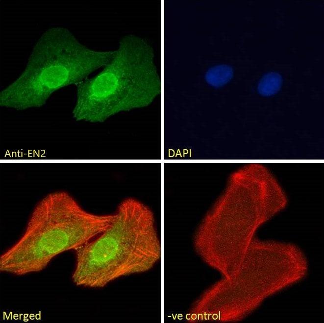 Immunocytochemistry - Anti-EN2 antibody (ab45867)