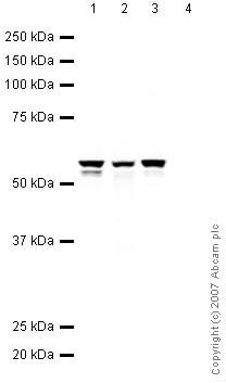 Western blot - Anti-Vimentin antibody - Cytoskeleton Marker (ab45939)