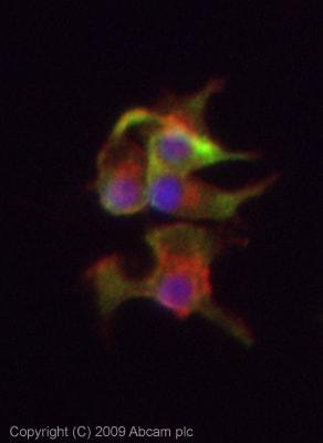 Immunocytochemistry/ Immunofluorescence - Anti-Tryptophan Hydroxylase antibody (ab46200)