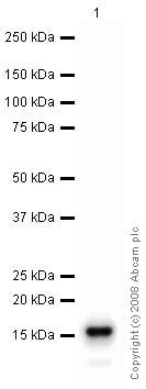 Western blot - Anti-gamma Synuclein/SNCG antibody (ab46201)