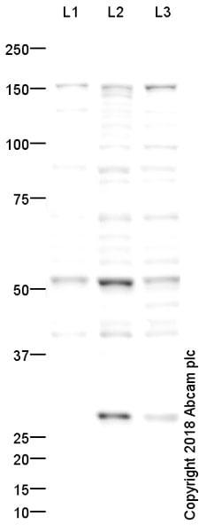 Western blot - Anti-CXCR5 antibody (ab46218)