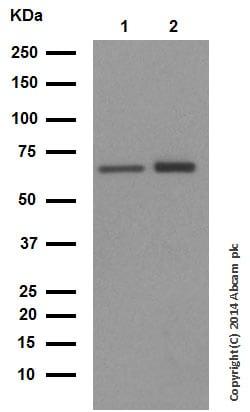 Western blot - Anti-Hsp60 antibody (ab46798)