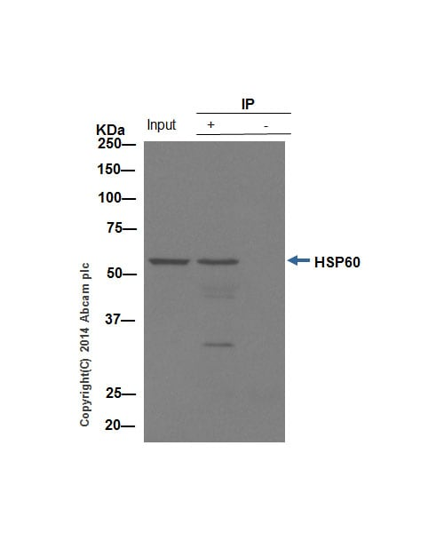 Immunoprecipitation - Anti-Hsp60 antibody (ab46798)