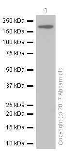 Western blot - Anti-IRS1 antibody [EP260Y] (ab46800)