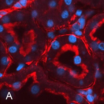 Immunohistochemistry (PFA perfusion fixed frozen sections) - Anti-muscle Actin antibody [EP184E] (ab46805)