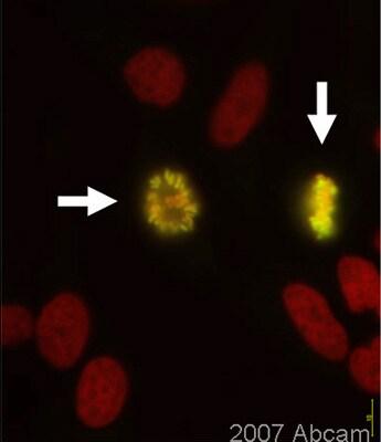 Immunocytochemistry/ Immunofluorescence - Anti-Histone H3 (phospho S10 + S28) antibody (ab46986)
