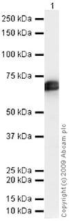 Western blot - Anti-Tissue Plasminogen Activator antibody (ab47033)