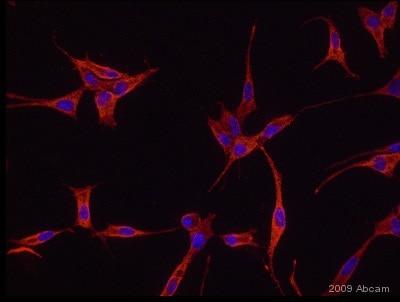Immunocytochemistry/ Immunofluorescence - Anti-Nogo A+B antibody (ab47085)