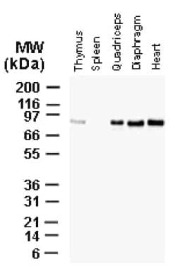 Western blot - Anti-Bag3 antibody (ab47124)