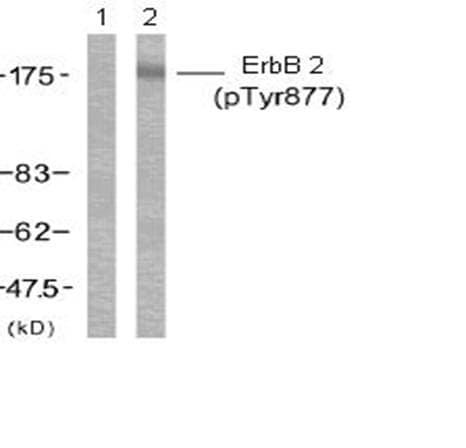 Western blot - Anti-ErbB 2 (phospho Y877) antibody (ab47262)