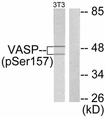 Western blot - Anti-VASP (phospho S157) antibody (ab47268)