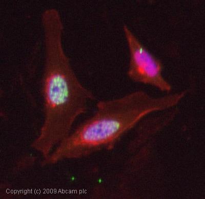 Immunocytochemistry/ Immunofluorescence - Anti-FOXO4/AFX (phospho S197) antibody (ab47278)