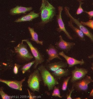 Immunocytochemistry/ Immunofluorescence - Anti-FOXO3A (phospho S253) antibody (ab47285)