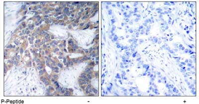 Immunohistochemistry (Formalin/PFA-fixed paraffin-embedded sections) - Anti-MEK1 (phospho S217) antibody (ab47295)