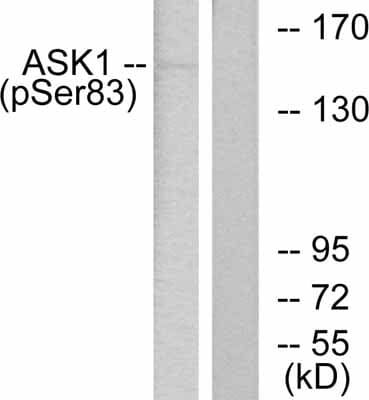 Western blot - Anti-ASK1 (phospho S83) antibody (ab47304)