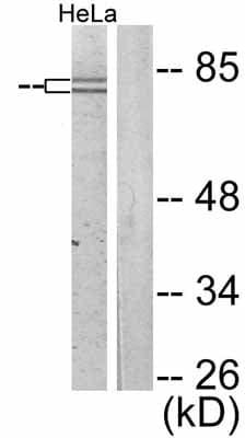 Western blot - Anti-FOXO1A (phospho S319) antibody (ab47326)