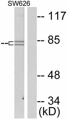 Western blot - Anti-beta Catenin (phospho S37) antibody (ab47335)