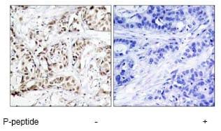 Immunohistochemistry (Formalin/PFA-fixed paraffin-embedded sections) - Anti-JNK1 (phospho T183) antibody (ab47337)