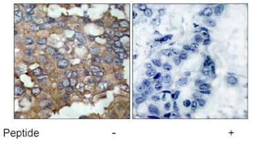 Immunohistochemistry (Formalin/PFA-fixed paraffin-embedded sections) - Anti-Src antibody (ab47405)