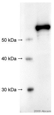 Western blot - Anti-Src antibody (ab47405)