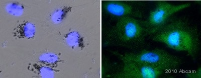 Immunocytochemistry/ Immunofluorescence - Anti-Src antibody (ab47405)