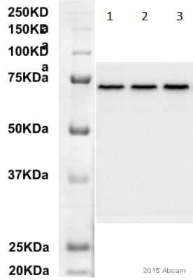 Western blot - Anti-Hsp70 antibody [C92F3A-5] (ab47455)